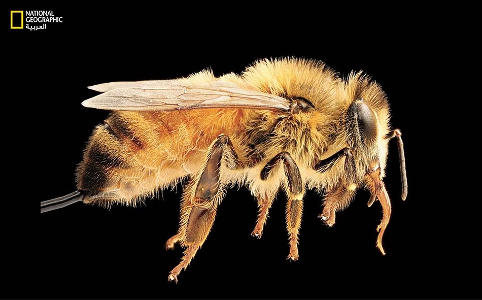 """تعود أصول """"نحل العسل""""إلى أوروبا والشرق الأوسط وإفريقيا. يلف الغموض اليوم الوضع الصحي لهذا النوع المهم من النحل في الولايات المتحدة."""