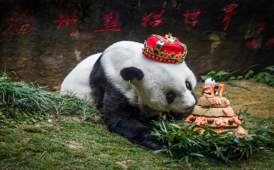 """كانت """"باسي"""" نجمة في الصين حيث كان يحتفل بعيد ميلادها سنويا بحفاوة أمام الكاميرات، مع قالب حلوى يتناسب مع حجمها يقدم لها في هذه المناسبة عادة. الصورة: STR/AFP/Getty Images"""