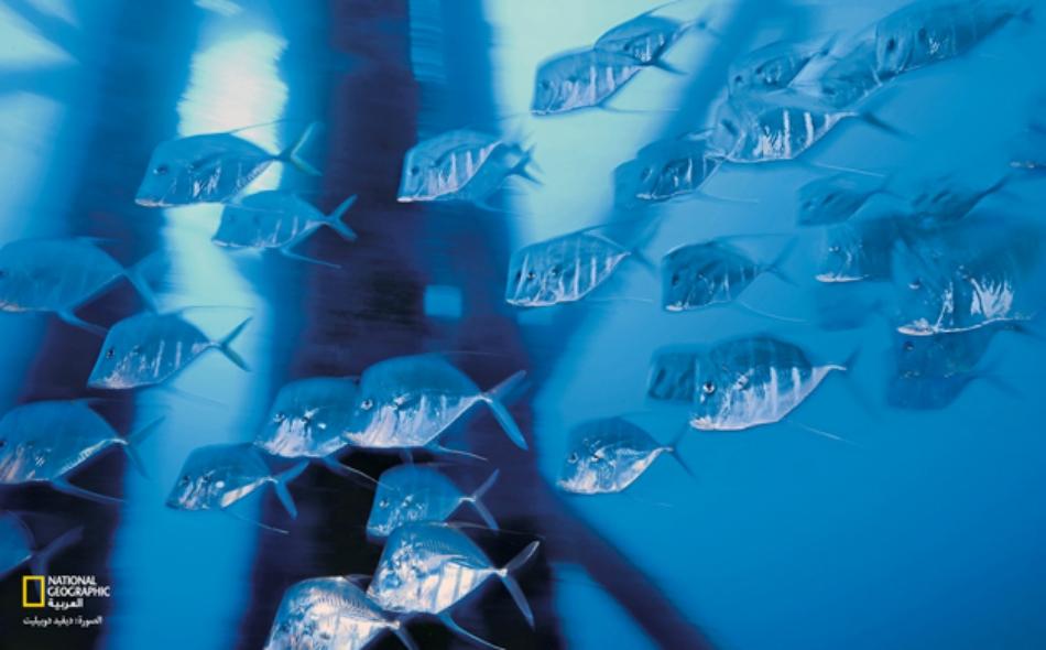 """درس العلماء نوعا من السمك يطلق عليه اسم """"جوبي"""" يعيش في أميركا الجنوبية يمكن أن يتحمّل وضعه في أحواض، ولاحظوا أن كلا من الأسماك يتفاعل بشكل مختلف مع الضغط والأوضاع المختلفة التي تعرضت لها. الصورة أرشيفية"""