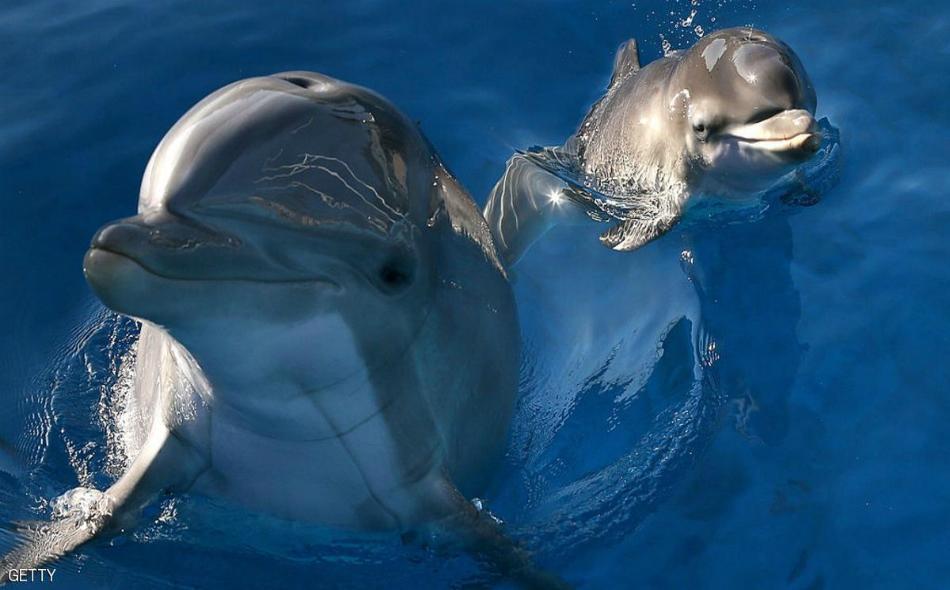 أثبتت دراسات أن الدلافين تتمتع بنظام اتصالات ليس له مثيل لدى الكائنات الحية، وتستطيع الدلافين من خلال هذا النظام التخاطب فيما بينها، لدرجة أن العلماء اكتشفوا أن الدلافين تقوم بإلقاء التحية على بعضها البعض، ومناداة بعضها بالأسماء مثل البشر.