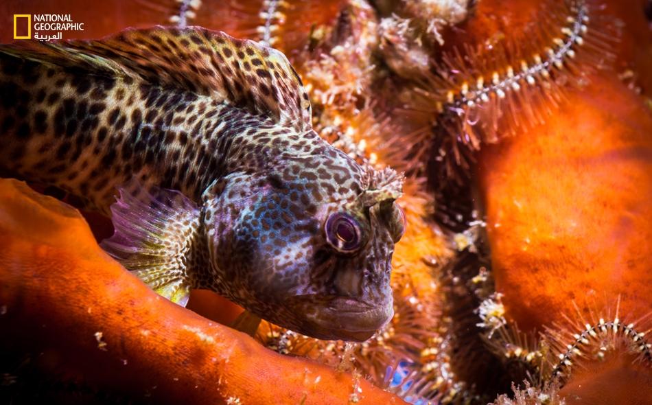 قام عدد من الباحثون بتحليل محتويات 146 معدة لثلاثة أنواع مختلفة من الأسماك؛ وهي أسماك أنجل العربية ، وأسماك دامسل الداكنة وأسماك دامسل شاحبة الذيل. الصورة: عُلا خلف.