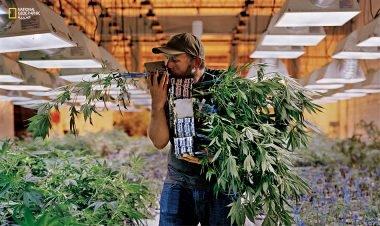 تصدير زيت القنب من شأنه أن يدشن بداية جديدة للأورغواي، التي أصبحت في 2013 أول دولة في العالم تقنن الماريجوانا بدءا من زراعتها وحتى توزيعها.