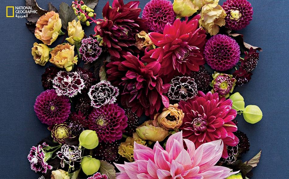 تستورد الولايات المتحدة ما نسبته 71 بالمئة من إجمالي أزهار الزينة، من كولومبيا؛ ما يجعل هذا البلد اللاتيني المصدر الأول بامتياز لهذه المنتجات.