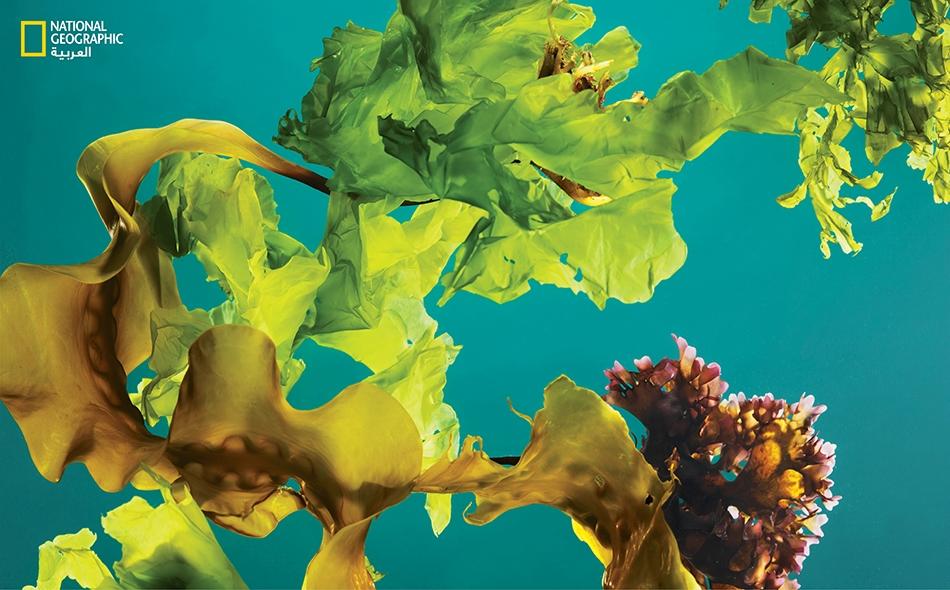 تم جني المزيج الظاهر في الصورة من العشب البحري والطحلب الأيرلندي وخس البحر، من ساحل ولاية ماين الأميركية.