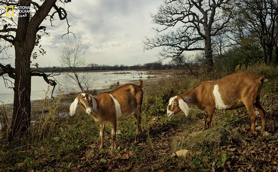 """زوج من الماعز يرعى قرب النهر بمقاطعة """"فريبورن"""" في ولاية مينيسوتا. عادة ما تُباع الماشية المتنافسة في معارض المقاطعة، بالسوق المحلية طلباً لألبانها ولحومها."""