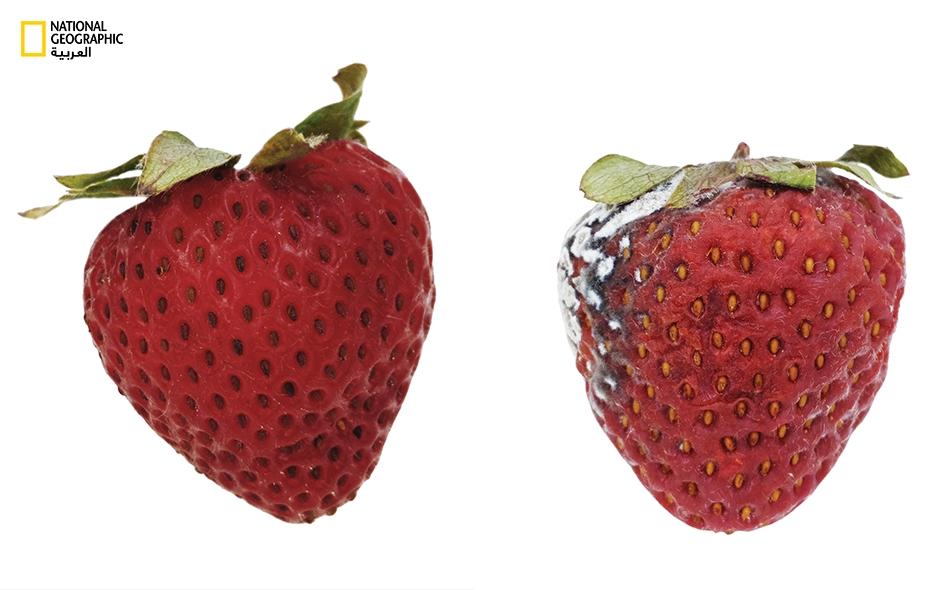 تبدأ ثمرة الفراولة دورة التلف ما إن تُقطف من نبتتها، على خلاف فواكه أخرى مثل الخوخ والموز. وقد ابتكر العلماء مادة واقية غير مرئية -وصالحة للأكل- بمقدورها إبطاء دورة التلف تلك، بإبطاء سرعة فقدان الثمرة سوائلَها وكذا كبح سرعة تأكسدها.