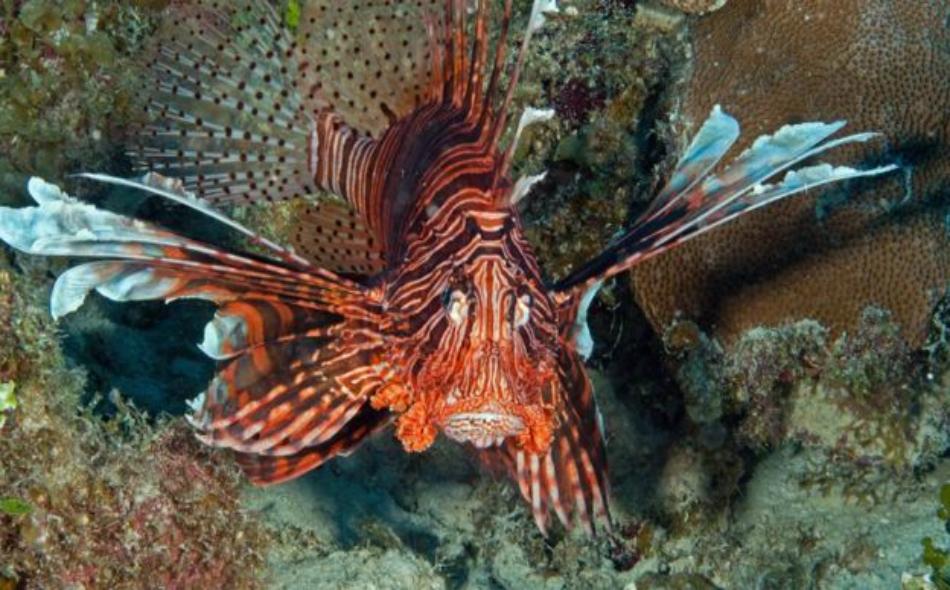 """صنفت """"سمكة الأسد"""" كسمكة غازية في أميركا والبحر الكاريبي، وتمثل الأسماك الملونة فريسة مفضلة لهذه السمكة."""