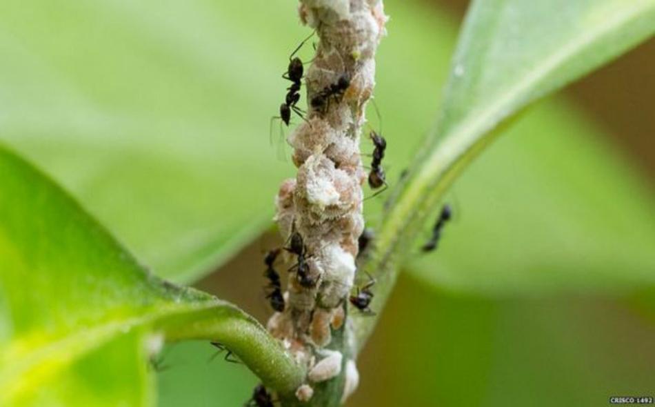 يعد النمل الأرجنتيني من أخطر أنواع النمل في العالم.