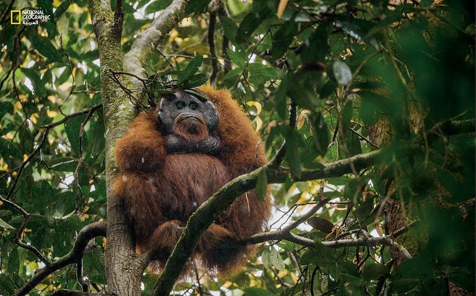 قال الباحثون إن هذه القردة تتميز باختلافات جينية وعظمية، واختلافات في أسنانها مقارنة بالنوعين الأخريين من الأورانغوتان. صورة أرشيفية