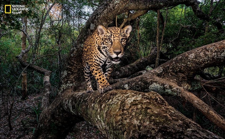 """جرو يغور في شهره العاشر، التقطته الأشعة تحت الحمراء لكاميرا آلية مخبأة في طريق عودته إلى بر الأمان على شجرة في """"بانتانال"""" بالبرازيل، أكبر منطقة مدارية رطبة في العالم، وأحد آخر معاقل حيوان اليغور (الجاكوار)."""