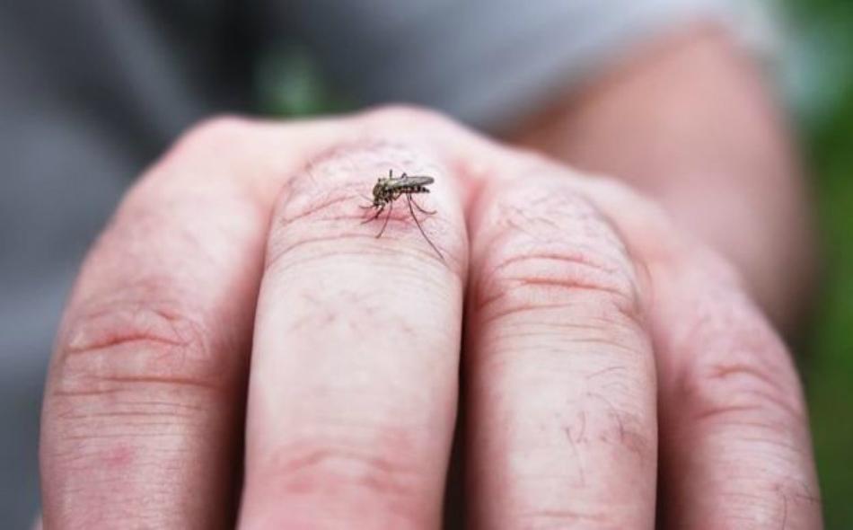 """يقول الباحثون إن الصنوبريات تفرز ما يعرف بـ """"التربينات"""" لاستدعاء البعوض وغيره من الحشرات الملقحة. الصورة: GETTY IMAGES"""
