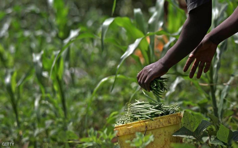 """يروج خبراء الزراعة في أوغندا إلى """"الفاصولياء الفائقة"""" بوصفها المورد المثالي لإطعام الجوعى في إفريقيا، والتي تنمو بسرعة وذات عائد مرتفع."""