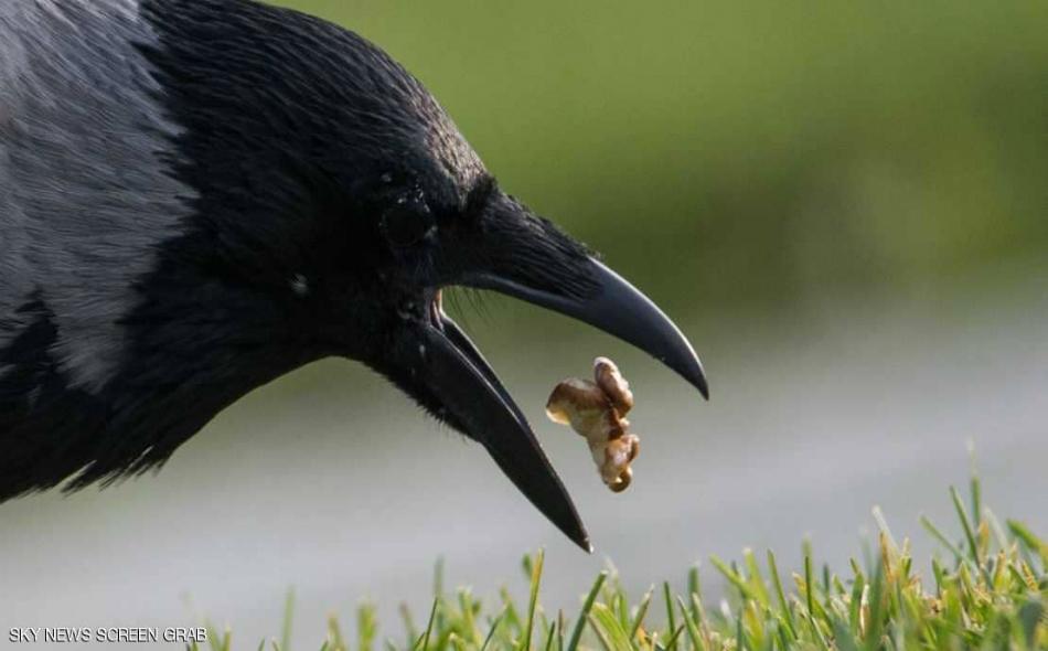 """تعد الغربان """"الكاليدونية"""" الحيوانات الوحيدة المعروفة حتى الآن بقدرتها مثل الإنسان، على صنع هذا النوع من الأدوات التي تستخدمها للحصول على الطعام."""