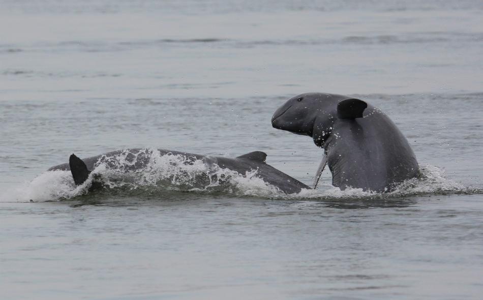 تهدد شباك الصيادين في نهر ميكونغ حياة دلافين إيراوادي. الصورة: Gerry Ryan