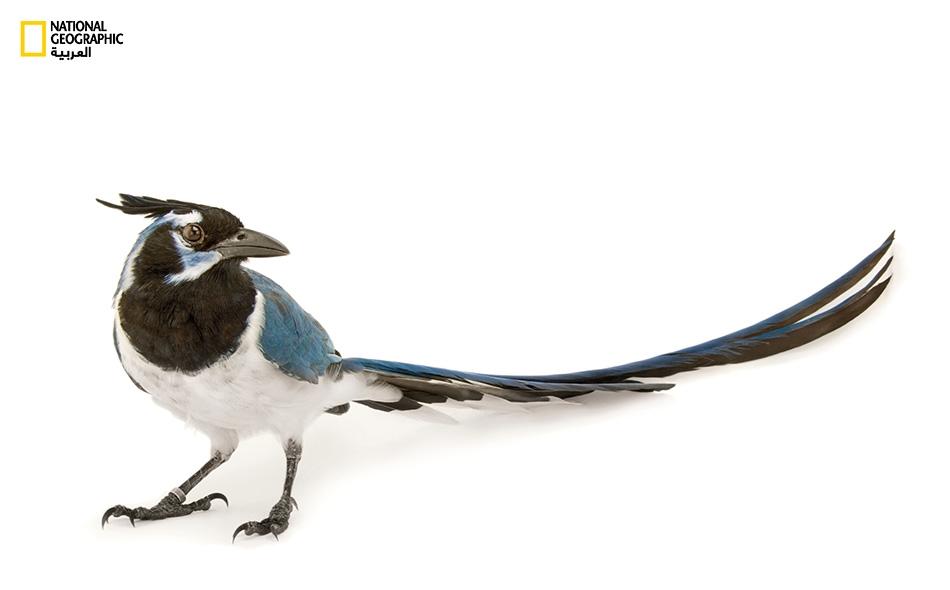 العقعق أسود الحنجرة Cyanocorax colliei يشيع صياحه الخشن في موئله غرب المكسيك. العقعق والغراب والزرياب وغُرابيات أخرى هي طيور حادة الذكاء. يستطيع العقعق التعرف إلى نفسه في المرآة، أما الغراب فصانع أدوات حاذق.