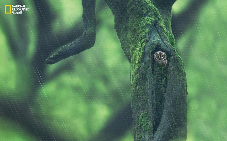 """بومة الأشجار العربية Arabian Scops owl Otus pamelae يمتد نطاق انتشار """"بومة الأشجار العربية"""" -التي تتغذى على الحشرات والسحالي والثدييات الصغيرة- في الربوع الجنوبية لشبه الجزيرة العربية وتحديداً عُمان واليمن وجنوب السعودية. يتخذ هذا الطائر الصغير الحجم..."""