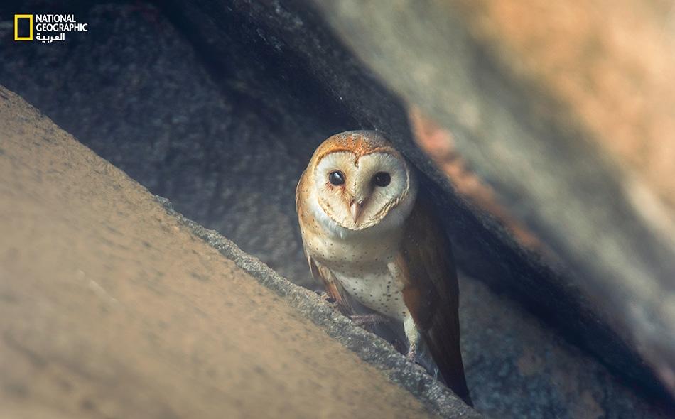 """بومة المخازن Barn Owl Tyto alba تُعد هذه البومة -التي يُطلق عليها أيضاً """"بيضاء الوجه""""- واحدة من أكثر الطيور انتشاراً في العالم، ويختلف حجمها تبعاً لاختلاف نطاقها الجغرافي؛ إذ يتراوح طول أنواعها بين 25 و 50 سنتيمتراً فيما يتفاوت باع جناحيها ما بين 75 و..."""