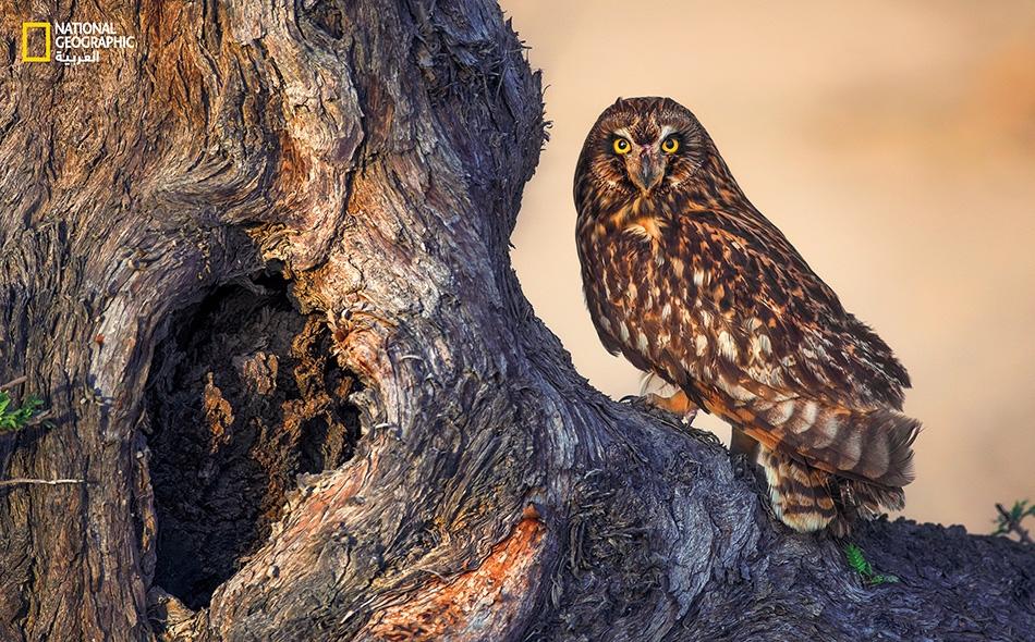 """البومة قصيرة الأذن short-eared owl Asio flammeus تُكنّى هذه الطيور بـ""""الصمعاء""""، وتمتد مواطنها في معظم مناطق نصف الكرة الشمالي. غالباً ما تُعشش هذه البومة داخل الأجمات الكثيفة القريبة من المستنقعات والمروج، وهي تقتات بشكل رئيس على القوارض والسحالي، إذ..."""