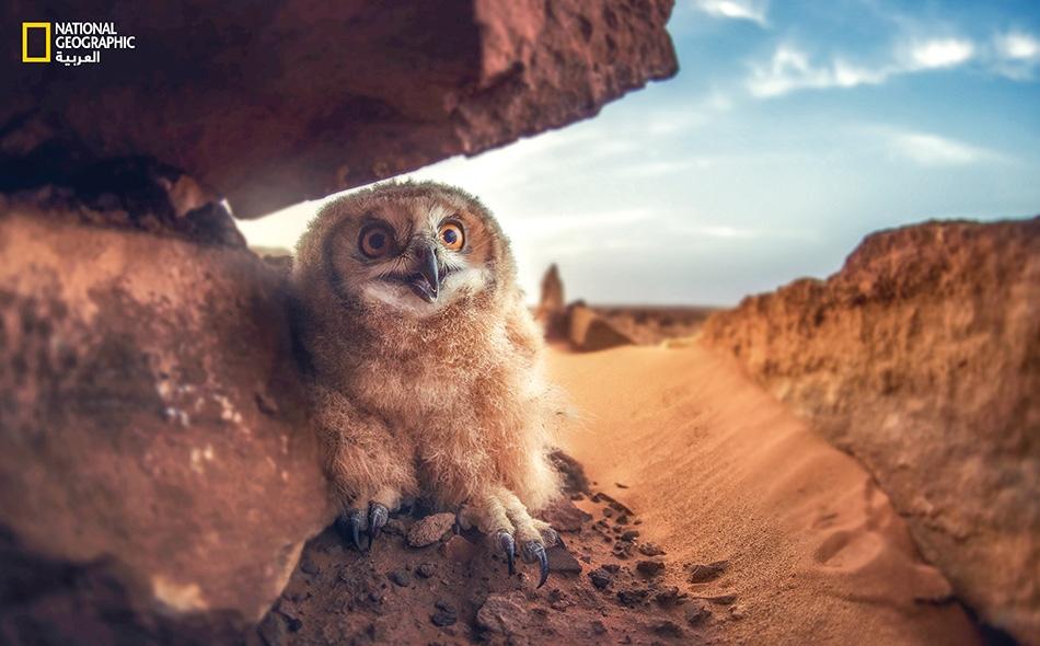 """البومة النسارية الفرعونية Pharaoh Eagle Owl Bubo ascalaphus هي أكبر أنواع البوم وتنتمي إلى فصيلة """"البومات العقّابية"""" تيمناً بطيور العقّاب الضخمة؛ إذ تستطيع افتراس غزال صغير أو ثعلب. يصل باع جناحي هذه البومة إلى مترين اثنين ويتجاوز وزن أنثى هذا النوع..."""