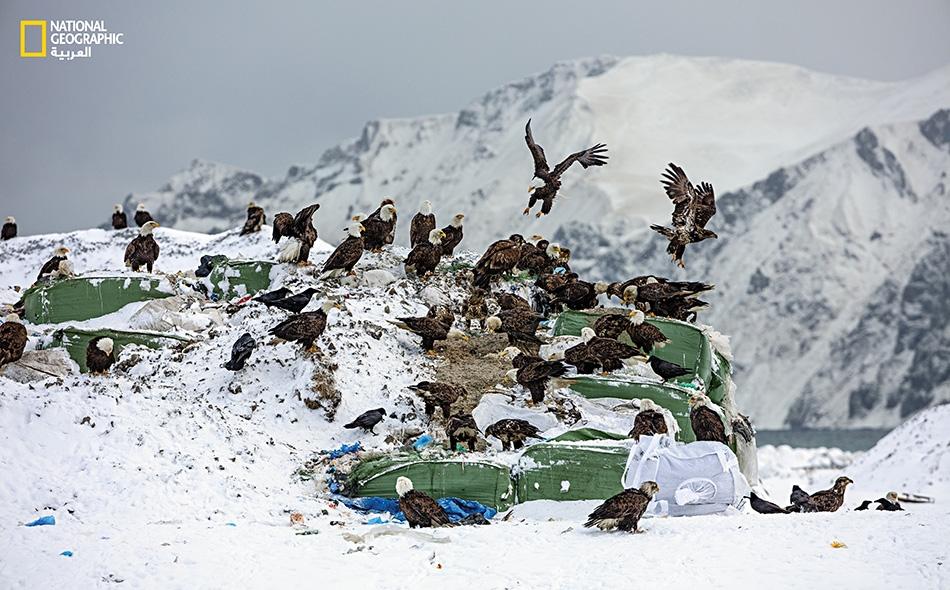 """عقبان صلعاء وغربان أميركية، تقتات على بقايا الطعام في رزم أكياس القمامة بمطرح نفايات مدينة أونالاسكا في جزر """"ألوتيان"""" بولاية ألاسكا الأميركية."""