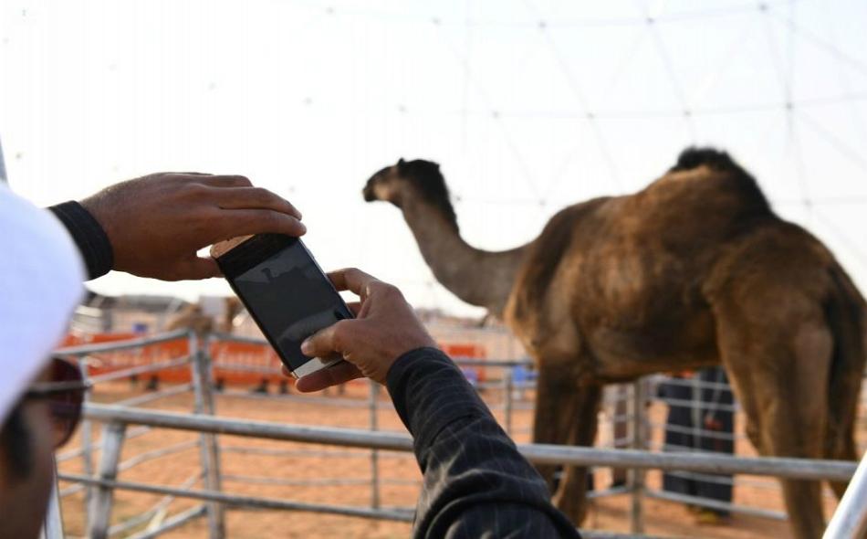 زائر يلتقط صورة تذكارية يوثق فيها أطول ناقة، خلال فعاليات مهرجان الملك عبدالعزيز للإبل.