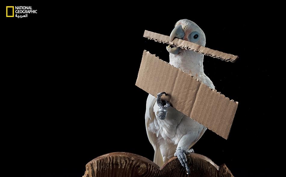 """في مربى طيور مخصّصة للبحوث في النمسا، يتباهى هذا الببغاء المبتكِر -المسمَّى """"فيغارو""""- بالأداة التي صنعها بنفسه لاسترداد حبة كاجو."""