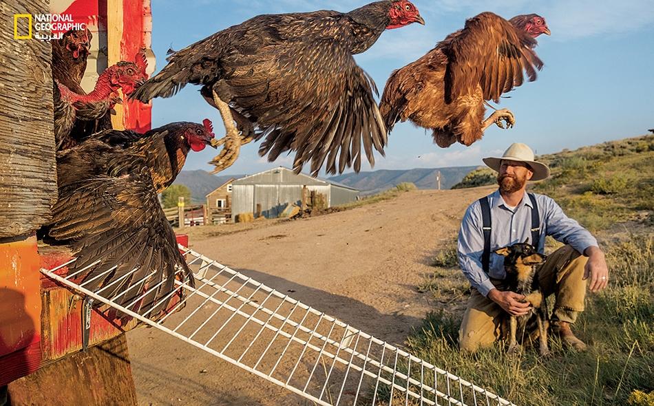 """يقول العلماء إن الدجاج -مثل هذه في """"مزرعة ماتْ سيغل"""" بولاية وايومينغ- من الطيور المتطورة من الناحية الإدراكية. فهي تعيش في مجتمعات هرَمية، وتستطيع عدّ الأرقام وإنجاز عمليات حسابية بسيطة؛ ومن المرجح أنها تَخبَر بعض المشاعر، من الملل والإحباط إلى السعادة."""