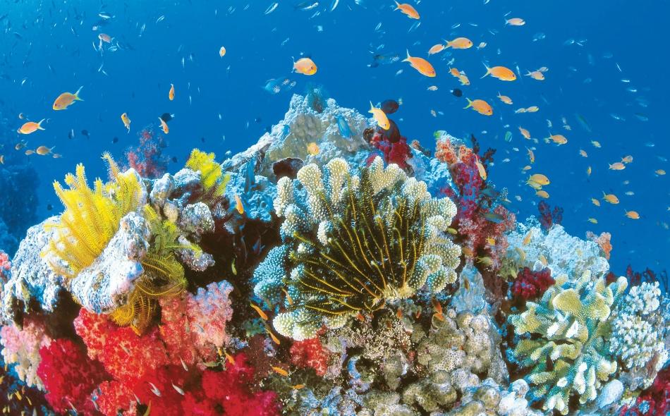 تموت الشعاب المرجانية إذا استمر التبييض فترة طويلة، مما يقضي على الأرصفة المرجانية التي تشكل موئلا للأسماك، والتي تمثل مصدرا غذائيا مهما لملايين الأشخاص. الصورة: Australia.com
