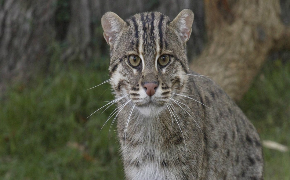 """يُعدّ """"القط السماك"""" أحد الحيوانات المنقرضة، وهو قط متوسط الحجم كانت أعداد كبيرة منه تعيش في جزيرة جاوة بإندونيسيا. الصورة: Nationalzoo.si.edu"""