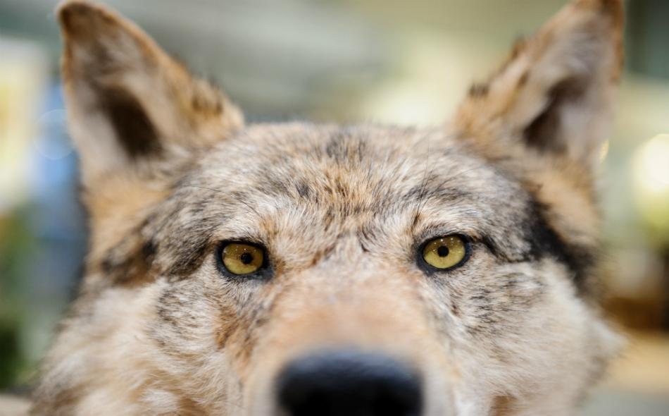 تعرض الذئب البري إلى عمليات صيد شديدة وتأثر بموجة التمدد الحضري والتطور الصناعي، أدت إلى اندثاره من أوروبا الغربية منذ بداية القرن العشرين. الصورة: EPA/TOBIAS KLEINSCHMIDT