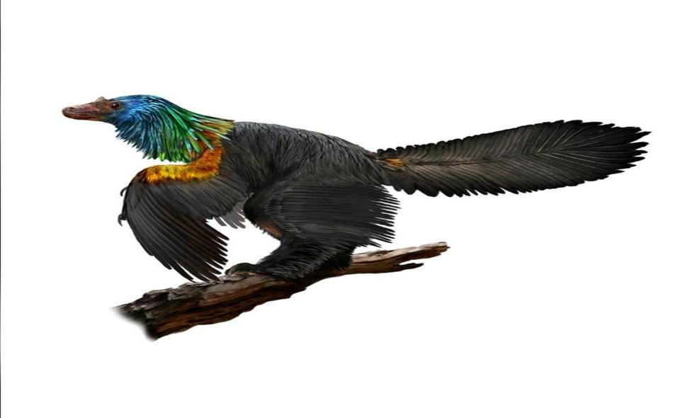 يشير الفحص المجهري للديناصور أن له ريش ملون مثل قوس قزح خاصة على رأسه ورقبته وصدره، بألوان تلمع وتتبدل في الضوء مثل ريش الطيور الطنانة.