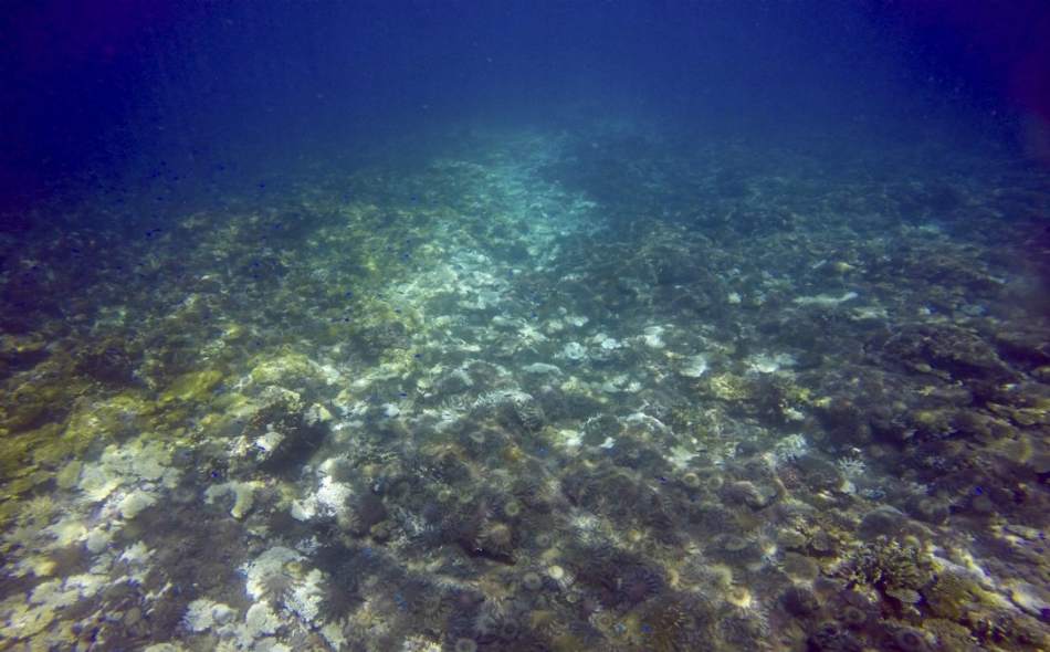 أعداد من نجم البحر تغطي مساحة من الحاجز المرجاني العظيم في أستراليا.