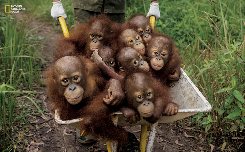 سجل الباحثون تناقص أعداد هذا النوع من القردة بنحو 148500 في تلك الفترة التي بلغت 16 عاماً، وتوقعوا فقد 45 ألفاً منها بحلول عام 2050، ليرسموا صورة قاتمة لمستقبل هذا القرد.