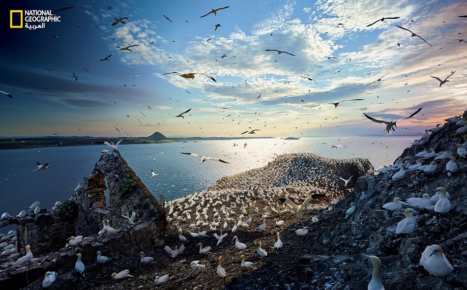 """خلال موسم التكاثر، يحتشد 150 ألف أطيش شمالي على هذه الجزيرة الواقعة في مصب نهر """"فورث"""". في الشتاء، تغادر الطيور ميمّمةً وجوهها نحو غرب إفريقيا. لإنتاج هذه الصورة، صعد ويلكس ومساعده 122 درجة على درج حجري يُفضي إلى قمة هضبة، وهما يحملان عُدّة التصوير وبعض..."""