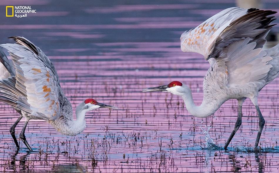 """يؤدي زوج من طيور الكركي الكندي رقصة تزاوج لدى """"محمية بوسك ديل أباتشي الوطنية للحياة البرية"""" بولاية نيومكسيكو."""