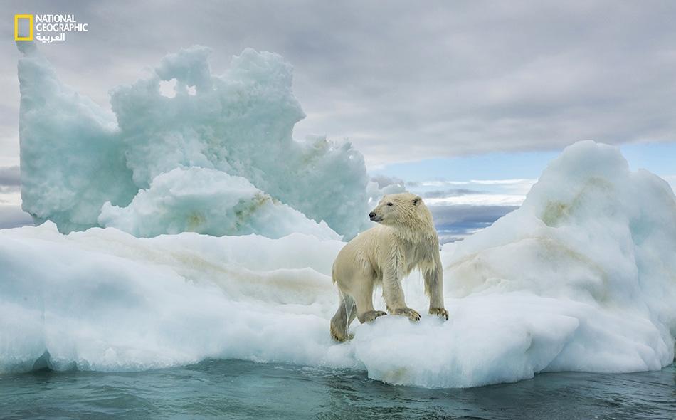 """دب قطبي مبلل يتسلق جليدا طافيا في """"خليج هدسون"""" بأقصى الشمال. تربض الدببة القطبية على الجليد البحري وتَكْمن للفقمات -التي تشكل 90 بالمئة من طعامها- حين تطفو على السطح. Paul Souders"""