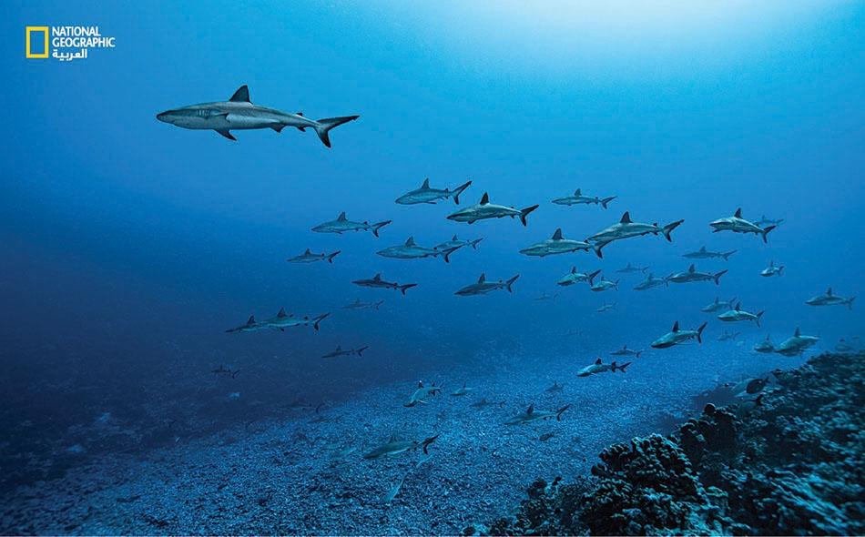 خلال النهار تسبح أسماك القرش بكل هدوء باتجاه يعاكس تيارات المد والجزر التي تمر عبر القناة. غير أنها تشتعل نشاطاً في الليل إذ تَخلد أسماك القُشر للراحة في قاع البحر فتكون سهلة المنال.