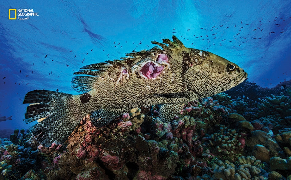 """يُحالف الحظُّ بعضَ أسماك القُشر في النجاة من القروش، مثل هذه التي انفلتت من فكَّي قرش.. لكن بجرح غائر في جانبها. عاينَ فريق """"لوران باليستا"""" العديد من حالات الصمود القصوى هذه في جزيرة """"فاكارافا""""."""