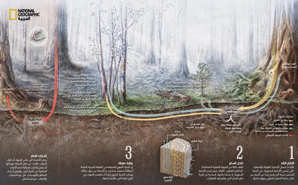 يمكن للأشجار التي تعاني الإجهاد أن تنقل الموارد -كالماء- من خلال الشبكة، ويمكنها أن ترسل إشارات كيميائية تحفز الآليات الدفاعية لدى أشجار أخرى. ويُتوقع أن تزداد المخاطر والتهديدات، مثل غزو الحشرات والجفاف، مع تغير المناخ.