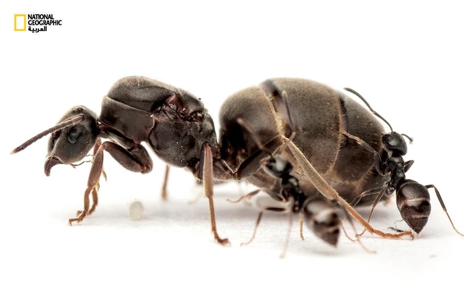 يعيش نمل الحدائق الأسود (Lasius niger) في أوروبا وأجزاء من أميركا الشمالية وآسيا. يمكن العثور عليه تحت أوعية الزهور في الحدائق، وفي شقوق الأرصفة بالمدن، وفي البيوت، التي يغزوها مدفوعاً بالجوع الشديد.