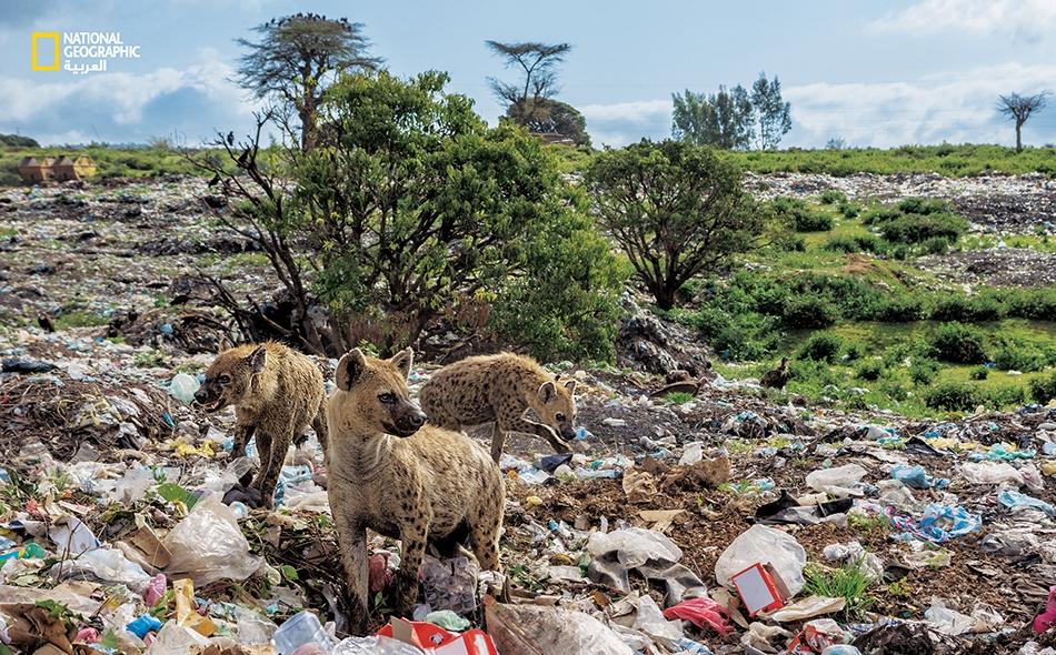 """يعيش بعض الحيوانات الآن في عالم من البلاستيك؛ مثل هذه الضباع الباحثة عن الطعام في مكب نفايات في """"هارار"""" بإثيوبيا. تسترق الضباع السمع لشاحنات النفايات، إذ تعثر على كثير من طعامها في القمامة. Brian Lehmann"""