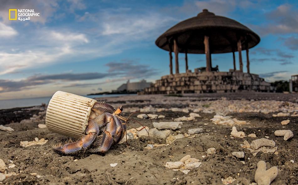 """لجأ سلطعون """"ناسك"""" في """"جزيرة أوكيناوا"""" اليابانية إلى غطاء قنينة بلاستيكية ليحمي بطنه اللين. يجمع رواد الشواطئ الأصداف التي يستعملها السلطعون عادة، ويخلّفون وراءهم القمامة. Shawn Miller"""