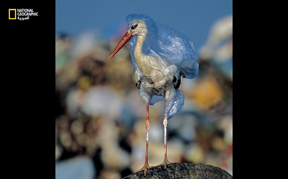 حرر المصور هذا اللقلق من كيس بلاستيكي في مكب نفايات بإسبانيا. قد يقتل كيس واحد أكثر من مرة؛ فالجثث تتحلل، ويبقى البلاستيك لتختنق من جرّائه حيوانات أخرى أو تَعلق فيه. John Cancalosi