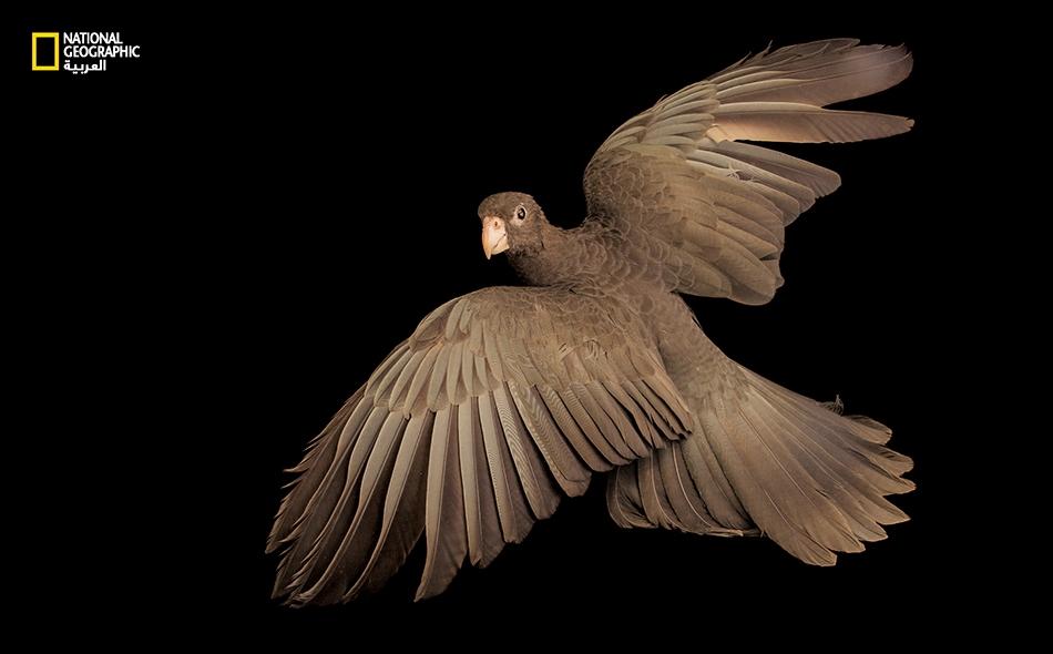 """ظل ببغاء """"البراكيت ذو الرأس الزهري"""" طائراً أنيساً ذا حظوة لدى البشر منذ قرون، لا سيما في أوروبا. لكن هذا النوعَ -ذا الوجنتين الورديتين والصوت الشجي- أصبح اليوم شبه مهدد بالانقراض؛ إذ يُصطاد بكثرة في برية ميانمار وتايلاند."""