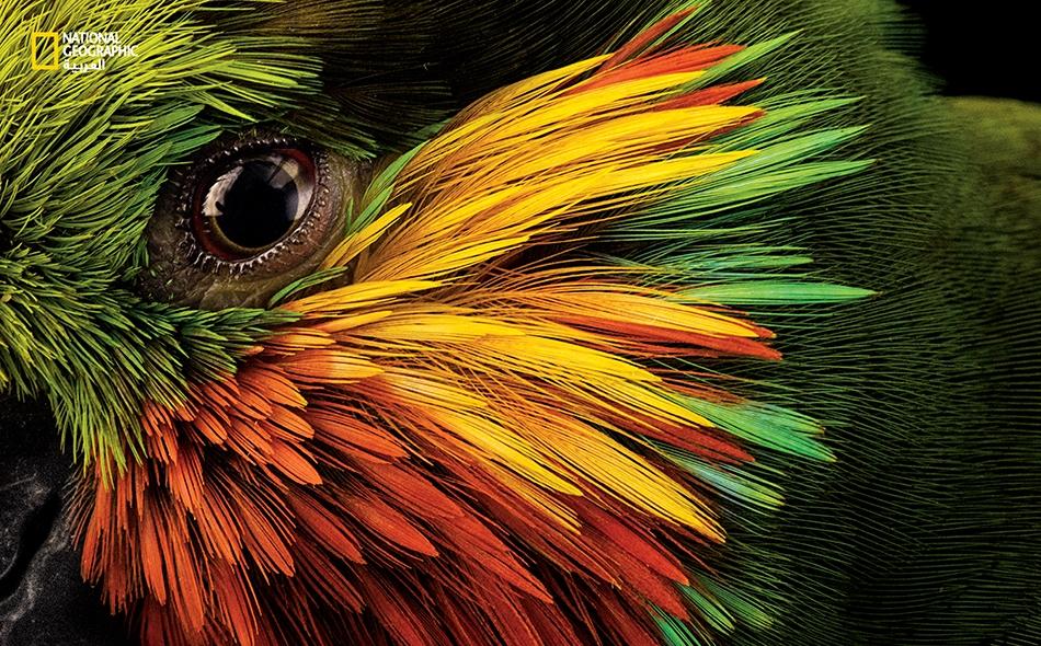 """ألوان زاهية تحيط بعين ببغاء """"تين إدوارد"""" الذي -وكما هو واضح من اسمه- يقتات على التين (فضلا عن فواكه أخرى والرحيق وربما الحشرات أيضا). يعيش ساكن الغابات الأخّاذ هذا من دون خوف قرب التجمعات السكانية في إندونيسيا وبابوا غينيا الجديدة. تم التصوير لدى..."""