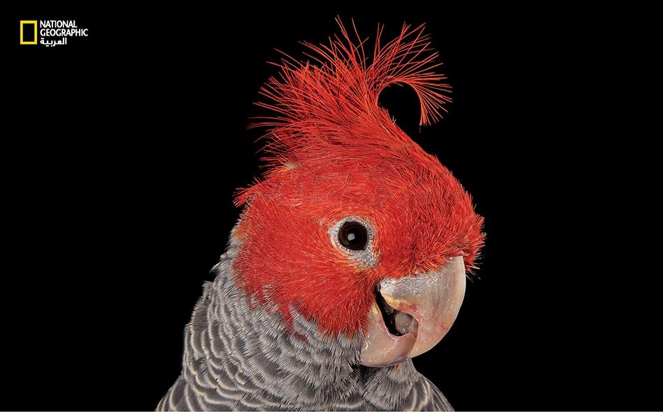"""ببغاء """"الغانغاغ"""" هو واحد من أصل زهاء عشرين نوعا من الكوكاتو، يعيش جلها في أستراليا."""