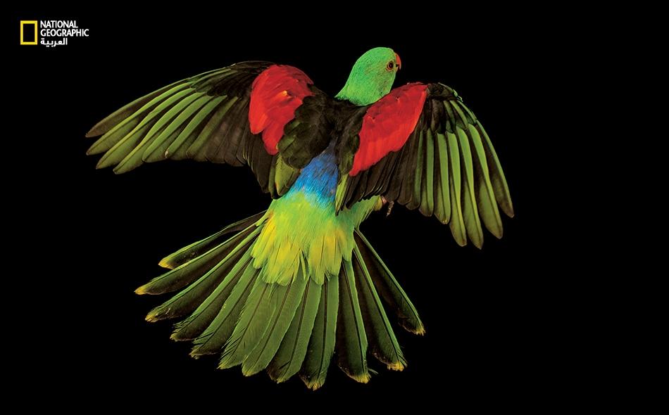 """قد يبدو ذكر الببغاء """"أحمر الجناح"""" في أستراليا وإندونيسيا وبابوا غينيا الجديدة، جذاباً، لكن ألوان الأنثى أزهى. يستطيع هذا النوع -على شاكلة كثير من الطيور- رؤية الضوء فوق البنفسجي. يلمع ريش بعض الببغاوات تحت الضوء فوق البنفسجي، ما يرجح أنها تستعمل طيفا..."""