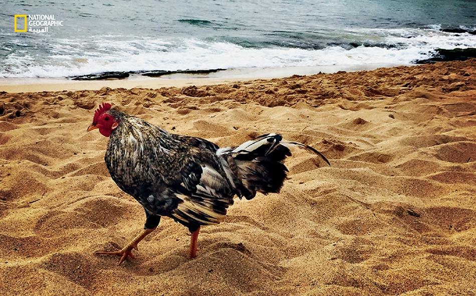 دجاج وحشي