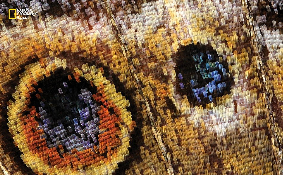 يعتمد العديد من الفراشات أسلوب التمويه اللوني وسيلةً دفاعية ناجعة ضد المفترسات. إذ تلجأ «فراشة السيدة المبرقشة» إلى فرد جناحيها بنقوشهما الشبيهة بالعينين لإخافة الطيور وردعها، ضمن استراتيجية تسمى «التحذير اللوني».