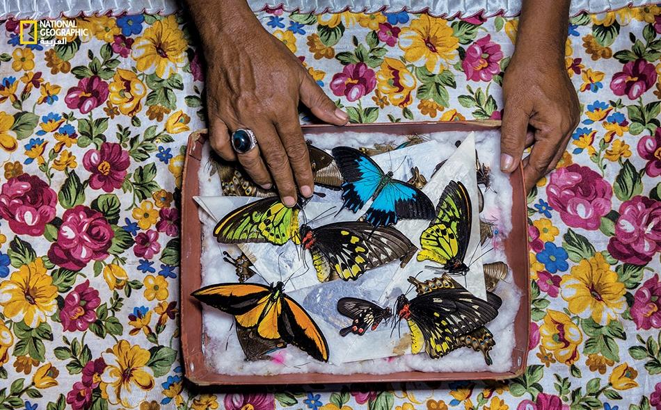 """يصنِّف أحد صيادي الفراشات في """"جزيرة باكان"""" بإندونيسيا عيِّناته التي سيبيعها في جزيرة """"بالي"""". وتُصدَّر الفراشات من هناك إلى جميع أنحاء آسيا، ومن ثم إلى هواة جمع الفراشات عبر العالم."""